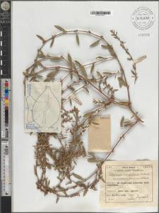 Polygonum monspeliense Thiébaud subsp. eximium (Lindman) H. Scholz