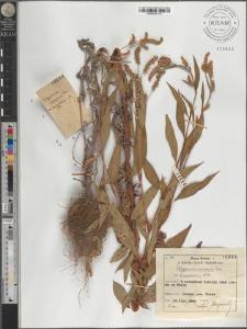 Polygonum nodosum Pers. var. lanceolatum A. Br.