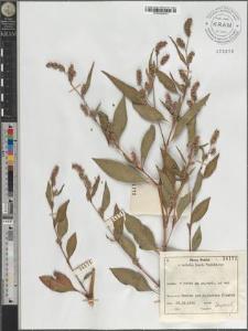 Polygonum persicaria L. agg.
