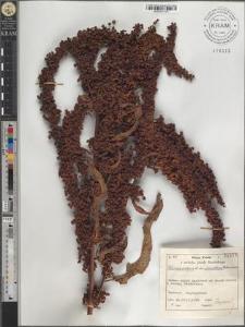 Rumex crispus L. var. unicallosus Petermann