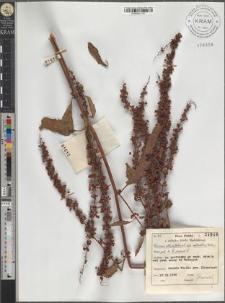 Rumex obtusifolius L. subsp. silvestris (Wallr.) Rech. pat. × Rumex crispus L.