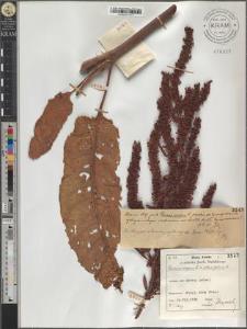 Rumex crispus L. × obtusifolius L.