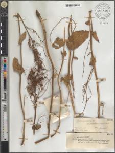Rumex arifolius All. subsp. carpaticus (Zapał.) Pawł.