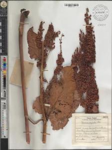 Rumex confertus Willd.