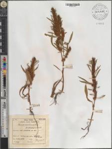 Rumex maritimus L. fo. stenophyllus Zapał.