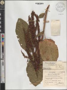 Rumex obtusifolius L. subsp. silvestris (Wallr.) Rech. pat.