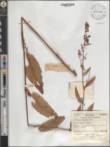Rumex obtusifolius L. × stenophyllus Ledeb.