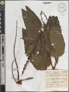 Rumex obtusifolius L. subsp. transiens (Simk.) Rech. fil.