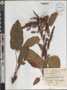 Rumex obtusifolius L. subsp. transiens (Simk.) Rech. f.