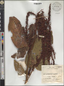 Rumex obtusifolius L. subsp. silvester (Wallr.)