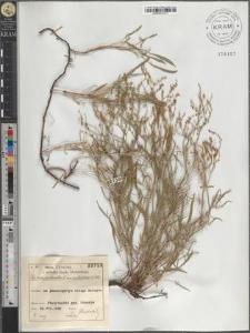 R[umex] tenuifolius (Wallr.) Löve
