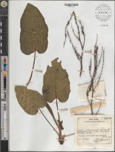 Rumex obtusifolius subsp. silvestris