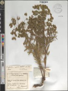 Euphorbia virgata Waldst. et Kit.