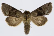 Abrostola triplasia