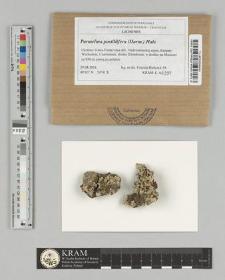 Parmelina pastillifera (Harm.) Hale