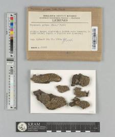 Physconia grisea (Lam.) Poelt
