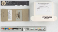 Lamproderma maculatum var. macrosporum Mar. Mey. & Poulain