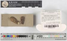 Lamproderma echinosporum Meyl.