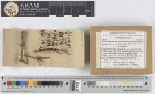 Lamproderma ovoideoechinulatum Mar. Mey. & Poulain