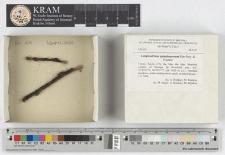 Lamproderma spinulosporum Mar.Mey., Nowotny & Poulain
