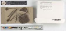 Lepidoderma carestianum (Rabenh.) Rostaf.