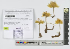 Dendrohypopterygium arbuscula (Brid.) Kruijer