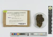 Diphyscium foliosum (Hedw.) Mohr