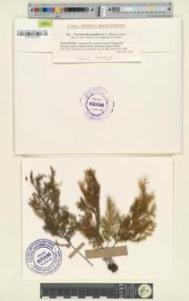 Pterobryella latifrons (C. Muell.) Jaeg. & Sauerb.