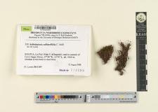 Schlotheimia sublaevifolia C. Müll.