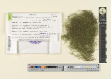 Orthostichella hexasticha (Schwaegrichen) W. R. Buck