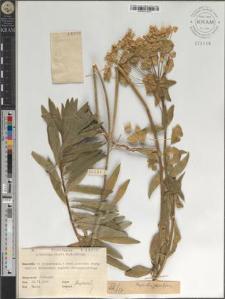 Euphorbia salicifolia