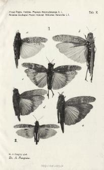 Prace Zoologiczne Polskiego Państwowego Muzeum Przyrodniczego. Tablica X / A. Pongrácz