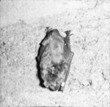 [Śpiące nietoperze w Nietoperku pow. Międzyrzecz(3)]