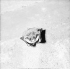 [Śpiące nietoperze w Nietoperku pow. Międzyrzecz]