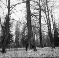 [Dąb z dziuplą oraz nietoperze w piwnicy łowniczej w Pogorzelcach(4)]