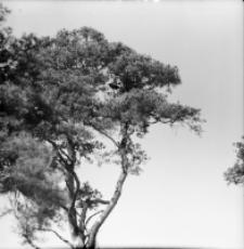 [Kruk na sośnie przy swoim gnieździe koło wsi Dasze(2)]