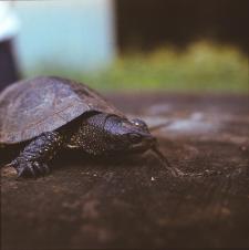 [Żółw błotny znaleziony na szosie do Hajnówki 500 m za parkingiem Zwierzyniec]