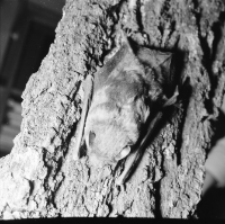 [Myotis daubentonii]