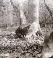 [Dziki i mieszańce w rezerwacie doświadczalnym (2)]