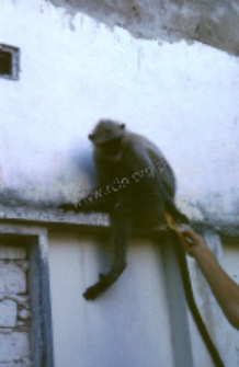 Langur monkeys (Iconographic document)