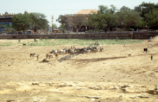 Feeding cows during the drought, Bhuj (Iconographic document)