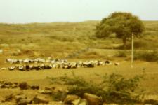 A herd of sheep, dheberiya rabari (Iconographic document)
