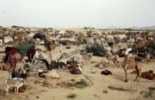 Animal market in Tilwara, Rajasthan (Iconographic document)