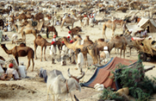 Animal market in Tilwara, Rajasthan (Iconographic document)