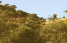 Dromedary camel (Iconographic document)