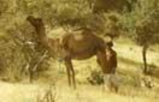 Kachchhi rabari shepherds with a camel (Iconographic document)