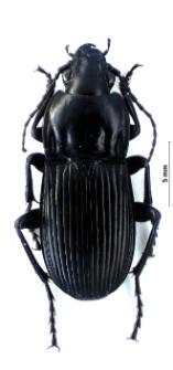 Abax parallelepipedus (M. Piller et L. Mitterpacher, 1783)