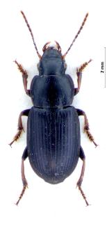 Harpalus signaticornis (Duftschmid, 1812)