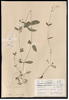 Cerastium macrocarpum Schur em. Gartner