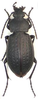 Carabus arvensis carpathus Born, 1902